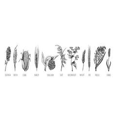 wheat ears cereals crop sketch set vector image