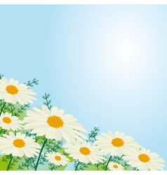 chamomile flowers against the sky vector image vector image