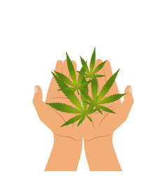 green marijuana leaves in human hands isolated on vector image