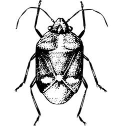 Beatle eurydema oleracea vector