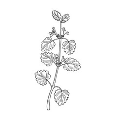 Drawing ground-ivy vector