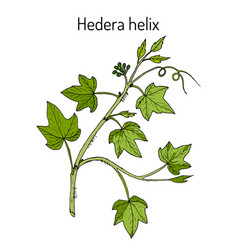 English ivy hedera helix ornamental and vector