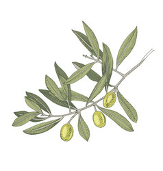 Hand drawn colorful olive tree branch vector