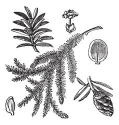 Canadian Hemlock vintage engraving vector image vector image