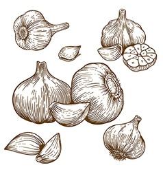 engraving garlic vector image vector image