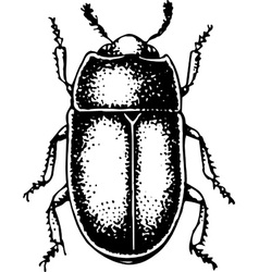 Bug meligethes aeneus vector