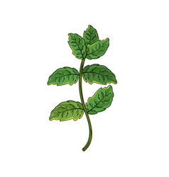 Peppermint plant ingredient to condiment of food vector