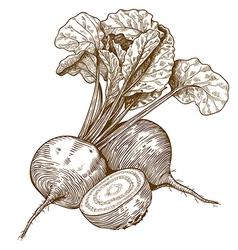 engraving beet vector image vector image