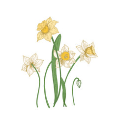 blooming tender narcissus flowers isolated on vector image