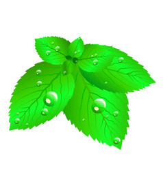 mint leaves fresh vector image