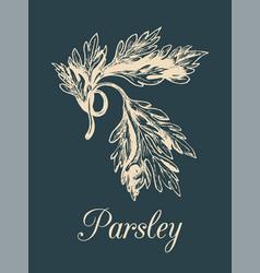 Parsley hand drawn sketch of vector