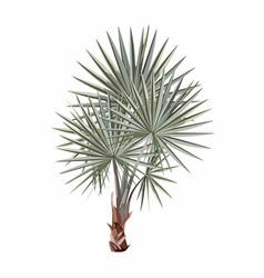 washingtonia fan palm vector image