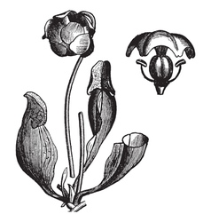 Vintage pitcher plant vector image