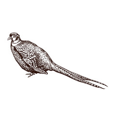antique engraving pheasant vector image
