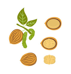 Walnut handdrawn vector