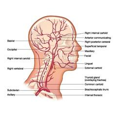 arteries head vector image vector image
