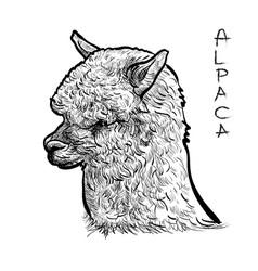 Alapca vector image