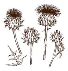 Set decorative onopordum acanthium scottish vector