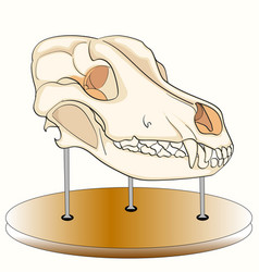 Skull of the dog on the stand anatomy an exhibit vector