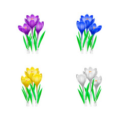 high detailed of crocuses flowers in vector image