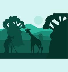photographer photographs walking giraffe in africa vector image