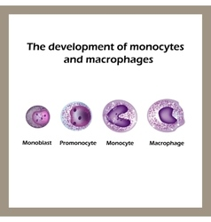 The development of monocytes and macrophages vector image