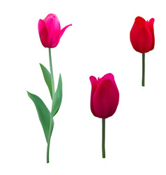 Tulips isolated on white background close up vector
