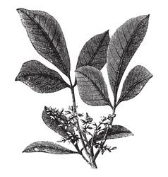 vintage gum tree vector image vector image