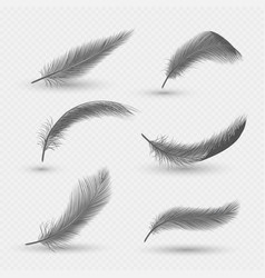 black fluffy swan feathers isolated vector image