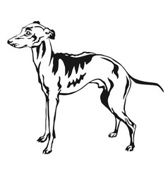 Decorative standing portrait of italian greyhound vector