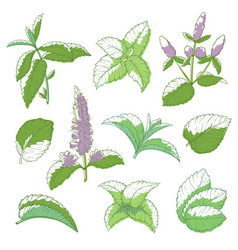 mint leaf hand drawn set vector image