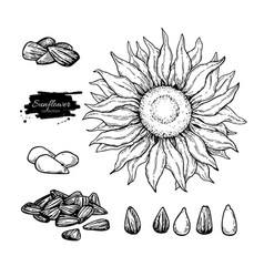 sunflower seed and flower drawing set hand vector image