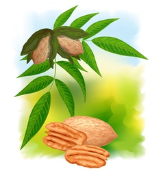 pecan nuts with leaves vector image vector image