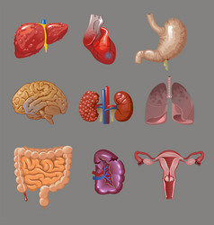 cartoon internal human organs collection vector image