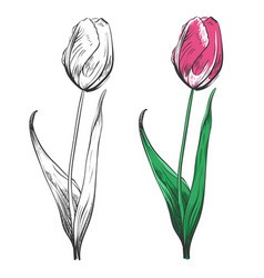 tulip silhouette and colorful isolated on white vector image