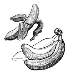 Bananas engraving drawing Fruit and food themes vector