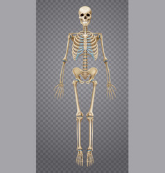 realistic human skeleton vector image