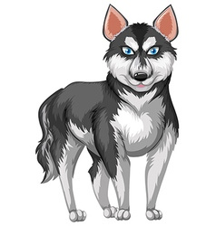 Siberian husky with black and white fur vector