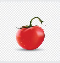 big red fresh tomato vector image
