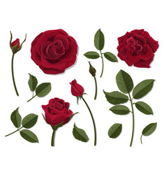 set of red rose flower parts vector image vector image