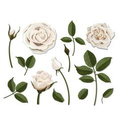 Set white rose flower parts vector