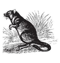 Vintage Potoroo Sketch vector image