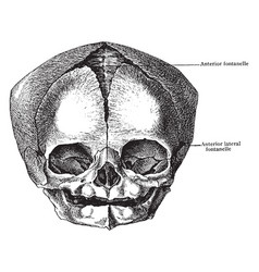Skull at birth from before vintage vector