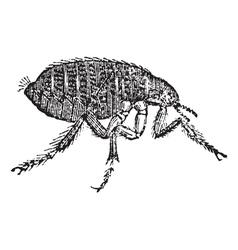 Vintage Flea Sketch vector image vector image