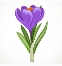 Beautiful purple crocus flower isolated on a vector