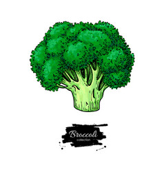 broccoli hand drawn vegetable vector image