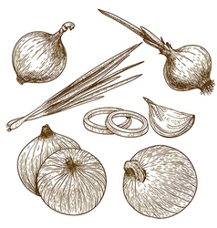 engraving onion vector image