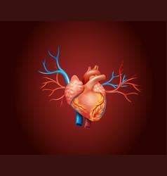 diagram showing human heart vector image vector image