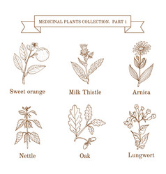 Vintage collection of hand drawn medical herbs vector