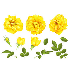 Realistic yellow rose set 3d roses vector